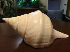 "XL 16"" SYRINX ARUANUS Australian Trumpet Sea Shell 9 in wide Natural Whelk Conch"