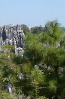 Yunnan Kiefer 1000 Samen -Pinus yunnanensis- -Bonsai geeignet-