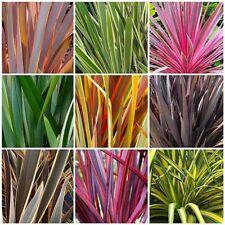 100 Phormium Tenax / New Zealand Flax Seeds Bulk Hardy Tropical Green Red Purple