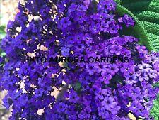 25 Heliotrope Marine Purple Fragrant Flowers Seeds