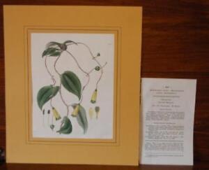 Incisione originale colorata a mano d'epoca. Botanica Amaryllideae, Curtis