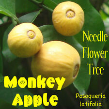 ~MONKEY APPLE~ Posoqueria latifolia Needle-Flower PERFUME TREE LIVE Potd Plant
