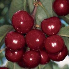 Cherry Tree Van Bare Root Red Cherries Fruiting Plant Edible Garden Trees Bushy