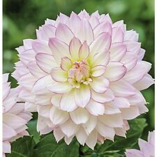 Dahlia Crazy Love x 3 Tubers  white lilac size 1