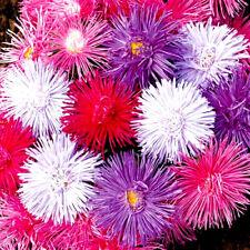 FIELDGROWN ASTER - GIANT RAY - 200 seeds - Callistephus - Drought Tolerant