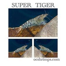8+1 Super Tiger Caridina Live Shrimps