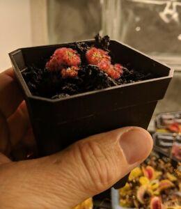 "Drosera Paleacea ""Giant"" pygmie sundew"