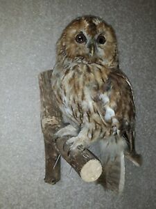 Northen red owl professional taxidermy