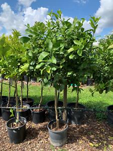 Citrus Lemon Limettenbaum Limette Gesamthöhe 1,10 - 1,40m aus Spanien