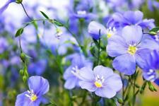 Blue Flax 100 Seeds, Linum- Perennial,long blooming,sky blue,nectar