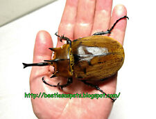 Insect grub feeder food 1x L1-L2 Megasoma gyas elephant beetle larva