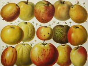 1897 Antique lithograph of APPLES, FRUITS, KITCHEN DECOR, BOTANY. 124 years old.