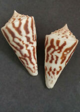 two Conus recurvus, 58mm and 59mm, from deep water in the Bay of Panama