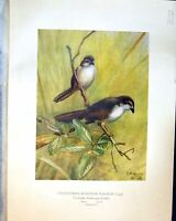Old Henry Birds Ceylon 1930 Chrysomma Sinensis Nasalis Legge Yellow-E 20th