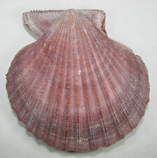 PECTEN SPINICOSTATA 104.91mm SUPER CHOICE SPECIMEN Shark Bay, Western Australia