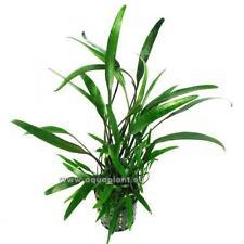 Cryptocoryne Lucens Topf, robuste Wasserpflanze, Aquariumpflanze, Barschfest