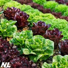 200Pcs Lettuce Seeds 3 Kinds Cabbage Leaves Organic Vegetables Natural Product