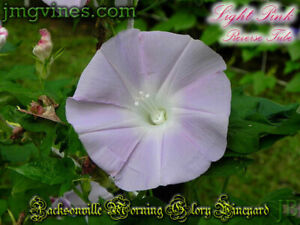 Light Pink Reverse Tube Japanese Morning Glory 6 Seeds