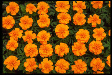 483073 marigolds A4 FOTO STAMPA texture