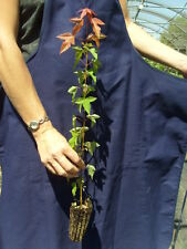 acer buergerianum Angebot 40 Pflanzen plants Alveole Ahorn Dreizack