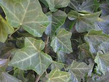 5 Baltic Ivy- Sub Zero Bare root (Hedera helix) 5 plants