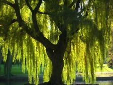 """10 Weeping Willow 7 - 8"""" Unrooted Cuttings"""