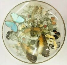 Real Insect Display Taxidermy Butterfly Beetle Moth Glass Case Morpho Rhinoceros