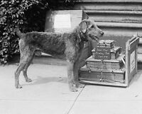 President Warren Harding's Airedale Terrier dog Laddie Boy 1922 Photo Print