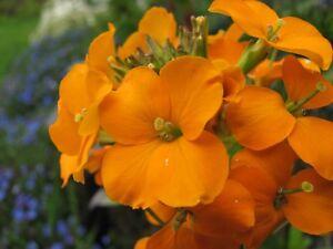 Siberian WALLFLOWER Seeds 1500+ HEIRLOOM Organic Easy Drought Heat Tolerant BULK