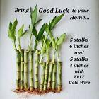 Lucky Bamboo 10 Stalks 6