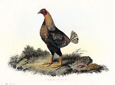 Game Cock Hahn Original Kupferstich um 1820 Rooster Hahnenkampf Federvieh