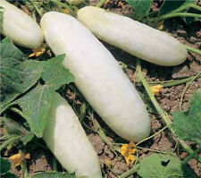 Cucumber – Himangi- Asian/Indian Cucumber-  10 finest Seeds