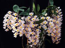 Dendrobium amabile. Dendrobium Orchid Plant species. Blooming Size.