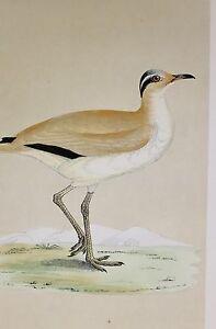 c1875 ANTIQUE PRINT ~ COURSER HAND COLOURED British Birds Morris