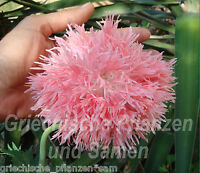 🔥 Mohn Papaver paeoniflorum VENUS* rosa gefüllt*50 Samen
