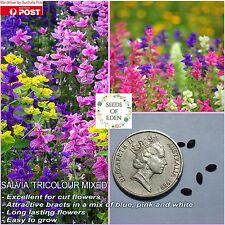 25 SALVIA -'TRICOLOUR MIX' SEEDS(Salvia viridis) ; Ideal for garden borders