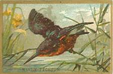 Martin-pecheur d'Europe Common Kingfisher Eisvogel  1900s IMAGE CHROMO b