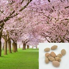 10 pcs japanese sakura seeds oriental cherry blossom seeds Bonsai plants