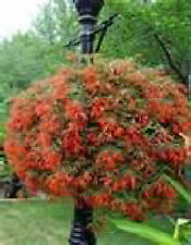 >   BEGONIA BOLIVIENSIS - bonfire - bright red/orange flowers - 20 + SEEDS
