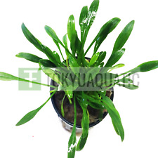 Cryptocoryne Parva Pot Live Aquarium Plants Crypt Green Tropica Decoration Fish