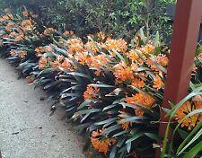 1 Orange flowering mature bare rooted  clivia plant.