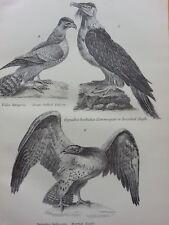 ANTIQUE PRINT DATED C1870'S ACCIPITRES ENGRAVING BEARDED EAGLE FALCON BIRDS ART