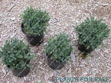 "New listing Rare Spruce 4yr ""Glauca Echinaformis"""