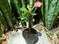 """Crown of Thorns Red Euphorbia Milii Plant Cactus in Bloom-  4"""" Planter"""