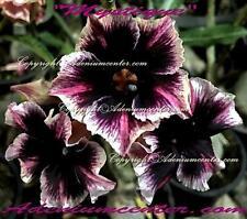 """ADENIUM OBESUM DESERT ROSE  """" MYSTIQUE """" 20 seeds NEW HYBRID FRAGRANT FLOWERS"""