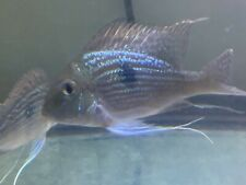 New listing Live Tropical Fish -geophagus sveni Eartheater Cichlid 5.5-6 Inches