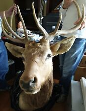 Massive Beautiful Shoulder Mount 9 Point Elk Head