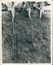 Worm's Eye View of Sugar Bet Plants & Roots Press Photo