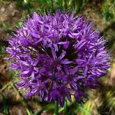 """10 X """"ALLIUM GLADIATOR"""" LATE SPRING FLOWERING BULBS SIZE 18/20+.EARLY ORDER."""