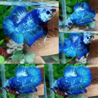 Blue Marble Halfmoon Plakat Male - IMPORT LIVE BETTA FISH FROM THAILAND